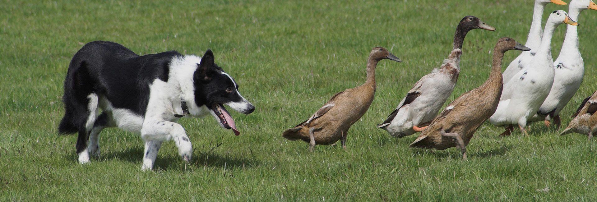 sheep dog handling