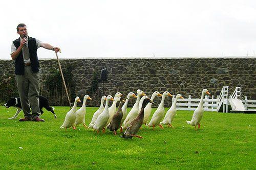 Sheep Dog Handling gallery 3